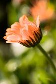 Měsíček květ — Stock fotografie