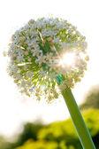 Lök blomma — Stockfoto