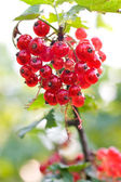 Cluster of red currants — Stock Photo
