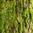Tree bark covered with green moss — Photo