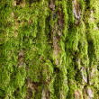 Tree bark covered with green moss — Stock Photo