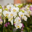 Beautiful white orchids flowers — Stock Photo