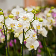 Beautiful white orchids flowers — Foto de Stock