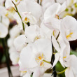 Stock Photo: Beautiful white orchids flowers