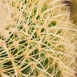 Cactus with long thorns — Stock Photo