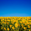 Yellow sunflowers over blue sky — Foto de Stock