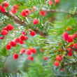 Stock Photo: Red berries on evergreen tree