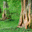 Mighty old oak trees — Stock Photo