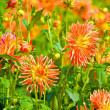 Yellow and orange dahlia flowers — Stock Photo #10185551