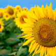 Yellow sunflowers over blue sky — Stock Photo