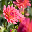 Stock Photo: Beautiful red dahlia flowers