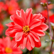 Beautiful red flowers macro — Stock Photo