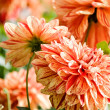 Beautiful red dahlia flowers — Foto Stock