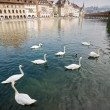 Swans in river with in Luzern — Stockfoto