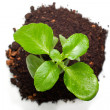 Foto de Stock  : Green plant from top view