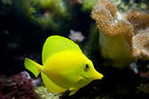 Tropical aquarium fish — Foto Stock