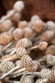Decorative pine corns — Foto Stock