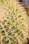 Cactus with long thorns — Foto Stock