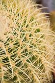 Kaktus s dlouhé trny — Stock fotografie