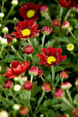Beautiful red flowers — Stockfoto