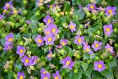 Beautiful small blue flowers — Stock Photo