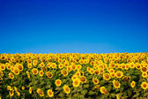 Yellow sunflowers over blue sky — Stok fotoğraf
