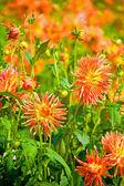 Flores amarillas y anaranjadas dalia — Foto de Stock