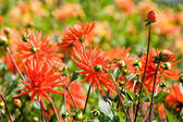 Beautiful blooming dahlia flowers — Stock Photo