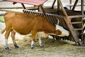Cow eating straw from the crib — Stock Photo
