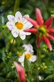 红色和白色的花朵 — 图库照片