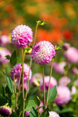 Beautiful pink dahlia — Stock Photo