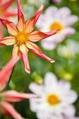 Biało -czerwone kwiaty — Zdjęcie stockowe
