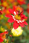 Mariposa y hermosas flores rojas — Foto de Stock