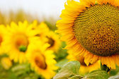 Yellow sunflowers field — Stock Photo