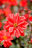 Beautiful red flowers macro — Foto Stock