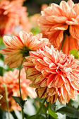 Beautiful red dahlia flowers — Стоковое фото