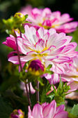 Beautiful pink dahlia — ストック写真