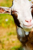 A little goat head — Stock Photo