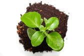 Grüne pflanze aus der ansicht von oben — Stockfoto