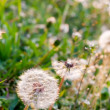 White dandelions on summer meadow — Stockfoto