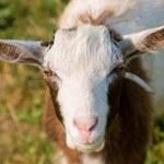 Little goat — Stock Photo