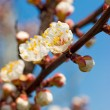 Apricot tree over blue sky - Stock Photo