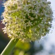 Onion flower - Stock Photo