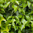 Green leaves texture — Stock Photo #10370979