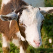 Little goat - Stock Photo