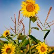 Yellow sunflowers over blue sky - Stock Photo