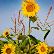 Yellow sunflowers over blue sky — Stock Photo #10371025