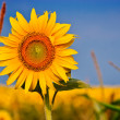 Yellow sunflowers over blue sky — Stock Photo #10371035