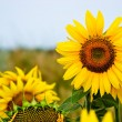 Stock Photo: Yellow sunflowers over blue sky