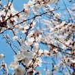 Apricot tree over blue sky — Stockfoto